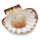 Scallop  - PhotoDune Item for Sale