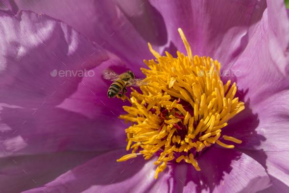 Honey bee on paeony flower - Stock Photo - Images