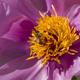Honey bee on paeony flower - PhotoDune Item for Sale