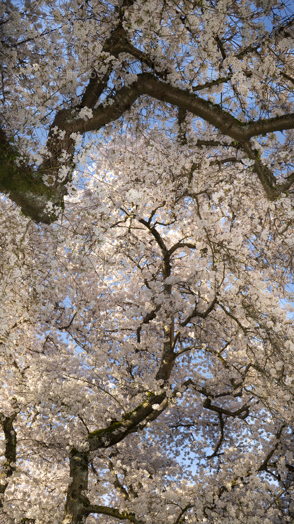 Vertical Composition Blooming Cherry Blossoms on Two Trees - Stock Photo - Images