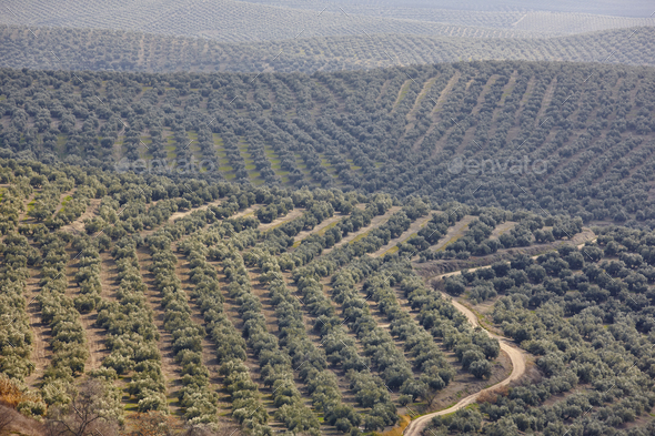 Olive tree fields in Andalusia. Spanish agricultural harvest landscape. Jaen - Stock Photo - Images