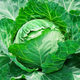 fresh cabbage in the vegetable garden - PhotoDune Item for Sale