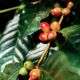 Coffee beans are ripe on tree - PhotoDune Item for Sale