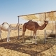Camels in bedouin camp - PhotoDune Item for Sale