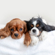 Two dogs lying together on the bed - PhotoDune Item for Sale