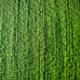 Newborn green wheat - PhotoDune Item for Sale