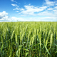 Green ears of wheat under blue sky - PhotoDune Item for Sale
