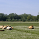 Cows on a field - PhotoDune Item for Sale