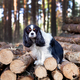 Dog standing on the pile of wood - PhotoDune Item for Sale