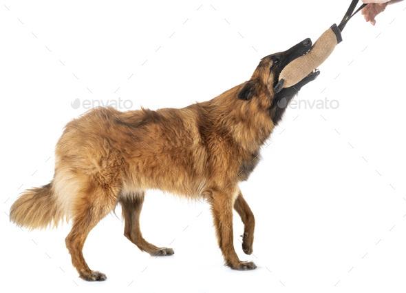 belgian shepherd tervueren - Stock Photo - Images