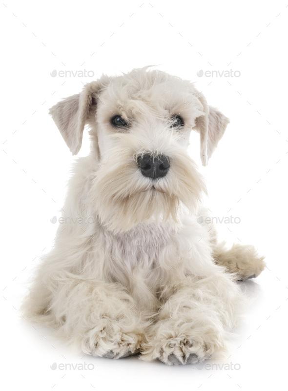 puppy white miniature schnauzer - Stock Photo - Images