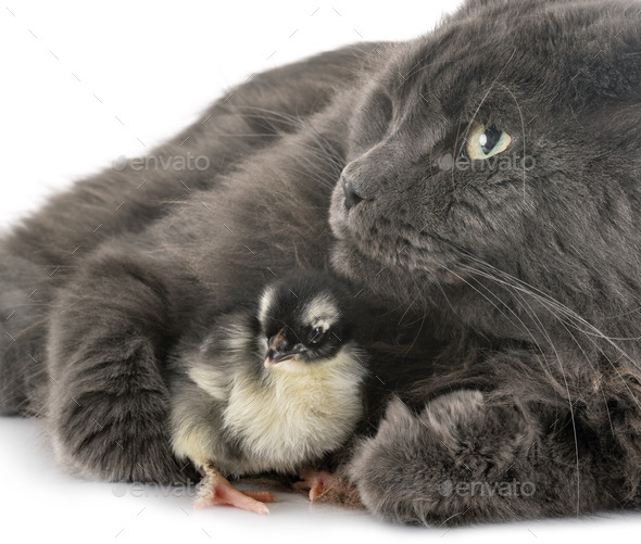 maine coon cat and chick - Stock Photo - Images