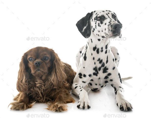dalmatian and cavalier king charles - Stock Photo - Images