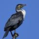 White-breasted cormorant (Phalacrocorax lucidus) - PhotoDune Item for Sale