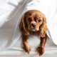 Cute dog in bed lying under the white blanket - PhotoDune Item for Sale