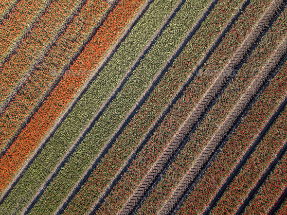 Aerial view Tulip field - Stock Photo - Images