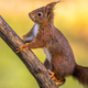 Red squirrel adorable on branch - PhotoDune Item for Sale
