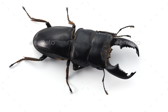 Giant Stag Beetle isolated on white background - Stock Photo - Images