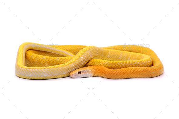 Rat snake albino isolated on white background - Stock Photo - Images