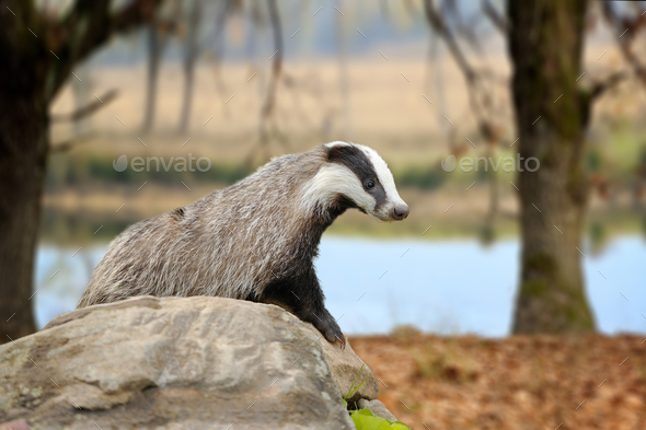 Badger on stone in the spring forest - Stock Photo - Images