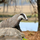 Badger on stone in the spring forest - PhotoDune Item for Sale