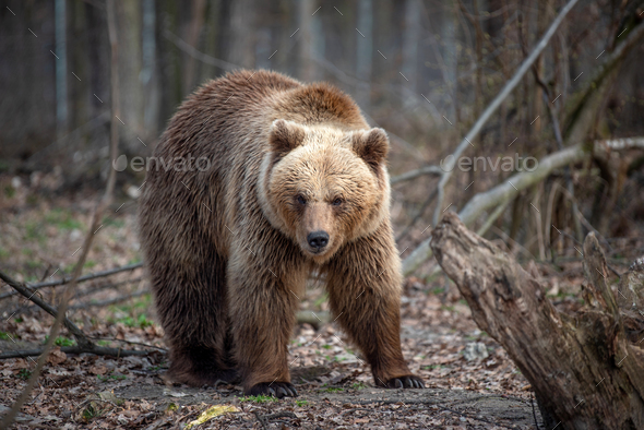 Big brown bear in forest - Stock Photo - Images