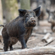 Wild boar in forest - PhotoDune Item for Sale