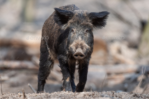 Wild boar in forest - Stock Photo - Images