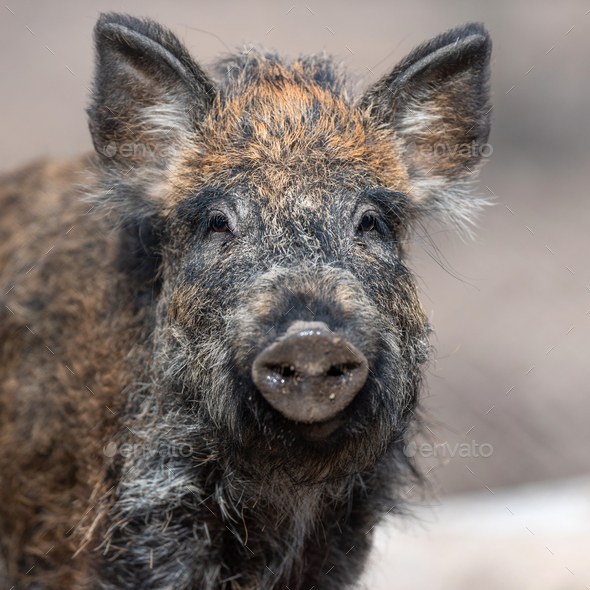 Portrait wild boar in forest - Stock Photo - Images