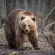 Big brown bear in forest - PhotoDune Item for Sale