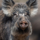 Portrait wild boar in forest - PhotoDune Item for Sale