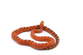 scaleless corn snake isolated on white background - PhotoDune Item for Sale