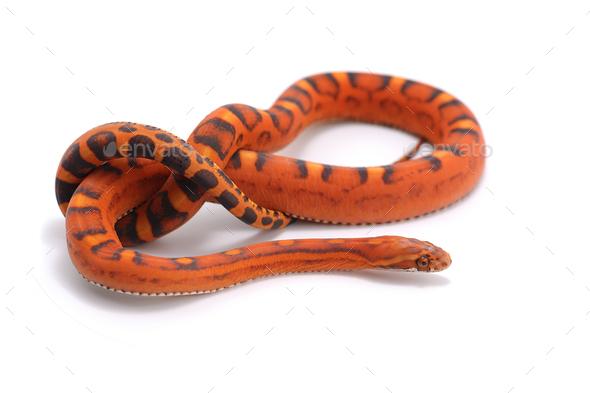 scaleless corn snake isolated on white background - Stock Photo - Images