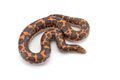 Kenyan sand Boas isolated on white background - PhotoDune Item for Sale