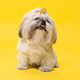 Cute shih tzu is sitting on the yellow background. Shih Tzu the Chrysanthemum Dog - PhotoDune Item for Sale