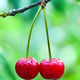 Two cherries hanging on the branches of a cherry tree - PhotoDune Item for Sale