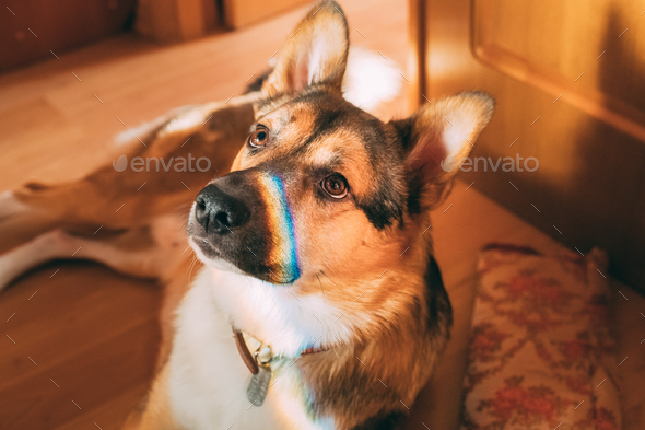Reflection Of A Multi-colored Rainbow On The Face Of A Dog. Mixe - Stock Photo - Images