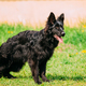 Beautiful Young Black German Shepherd Dog Standing In Green Gras - PhotoDune Item for Sale