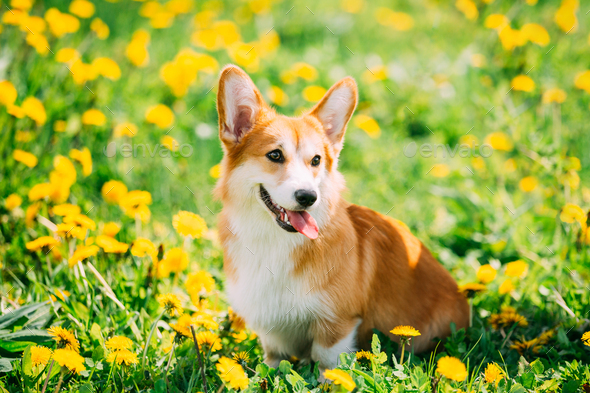 Funny Pembroke Welsh Corgi Dog Puppy Playing In Green Summer Mea - Stock Photo - Images