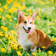 Funny Pembroke Welsh Corgi Dog Puppy Playing In Green Summer Mea - PhotoDune Item for Sale