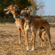 Two wolfhounds - PhotoDune Item for Sale