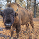 european bison, Romania - PhotoDune Item for Sale