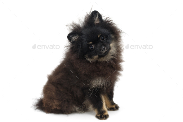 Black And Gy Pomeranian Puppy Stock Photo Images