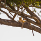 Leopard rests in a tree after meal - PhotoDune Item for Sale