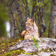 Lynx Resting On Rock Formation In Forest - PhotoDune Item for Sale