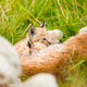 Lynx mother Resting With Cute Cubs on the Grass At Forest - PhotoDune Item for Sale