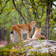 Alert Lynx Resting On Rock Formation In Forest - PhotoDune Item for Sale