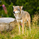 Wolf Standing On Field By Rock In Forest - PhotoDune Item for Sale