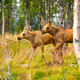 Two Moose Calves Walking In Forest At Summer - PhotoDune Item for Sale
