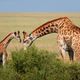 Giraffe cow and calf - PhotoDune Item for Sale